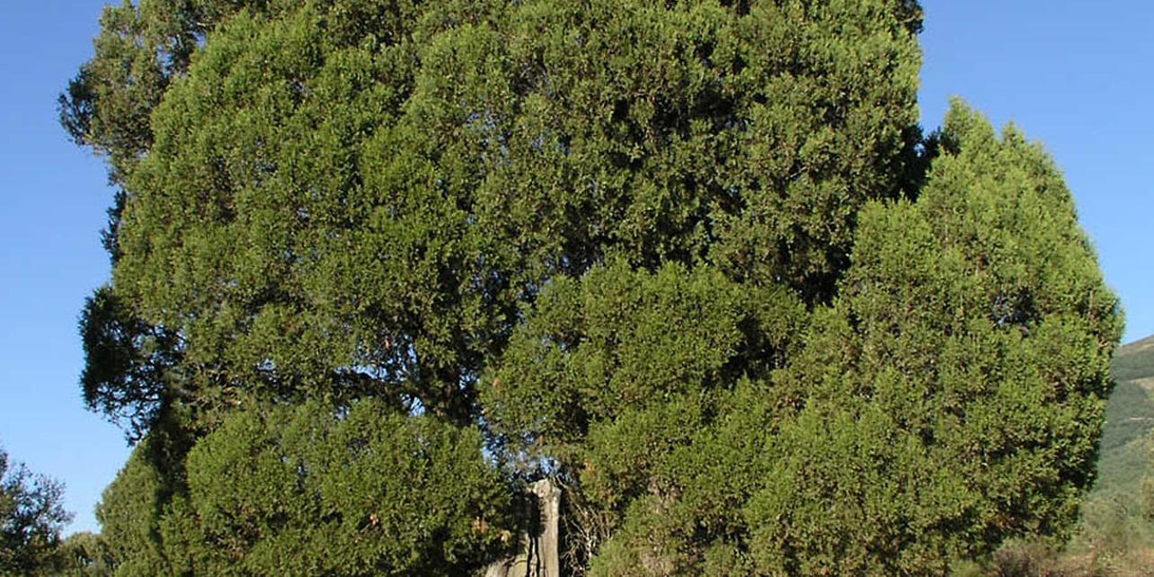 Bosque de sabina albar
