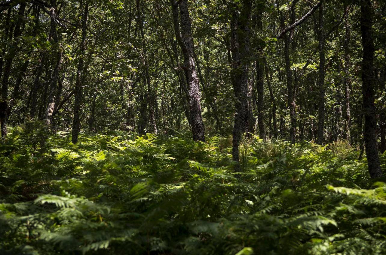 Los bosques de robles y helechos que rodean San Martín del Castañar nos sumergen en otro mundo. Foto: Manuel Ruiz Toribio