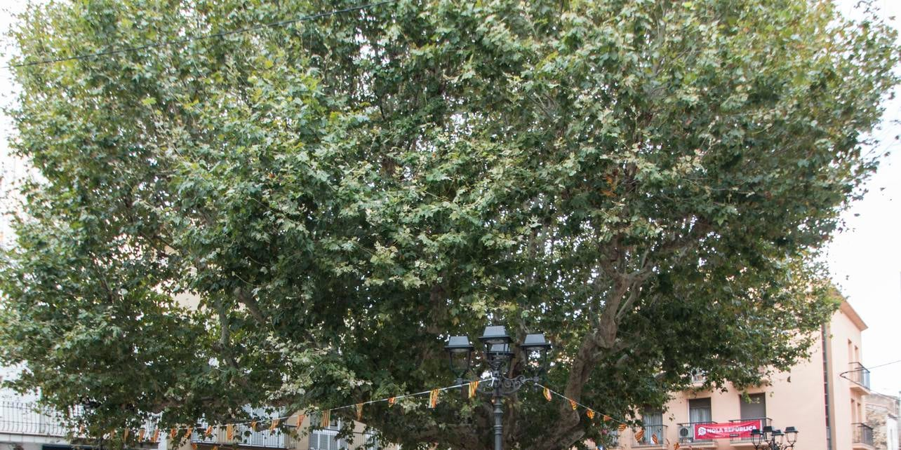 Árbol centenario