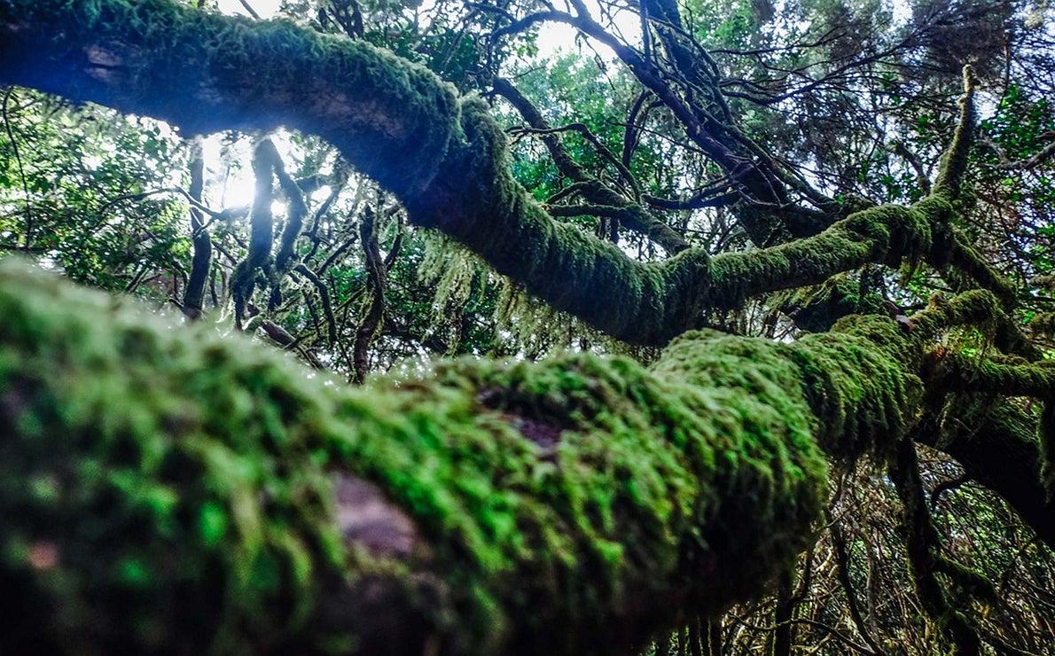 Árboles del bosque de Garajonay. La Gomera