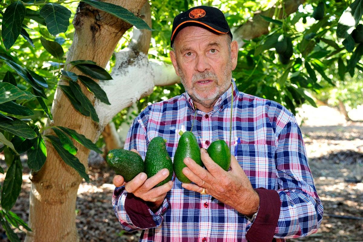 Antonio Cereto sostiene los cuatro tipos de aguacates que cultiva.