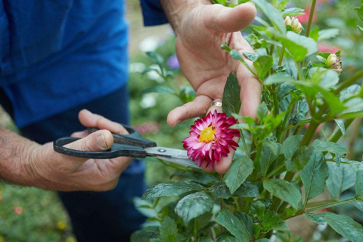 Flor de dalia, decorativa y con propiedades medicinales