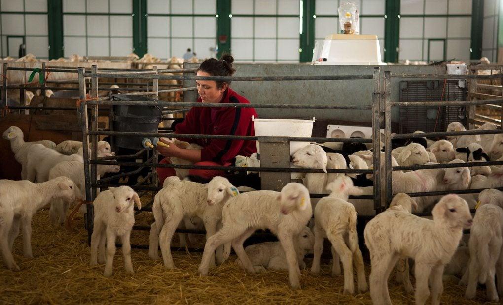 La alimentación de estas ovejas se basa en productos ecológicos.