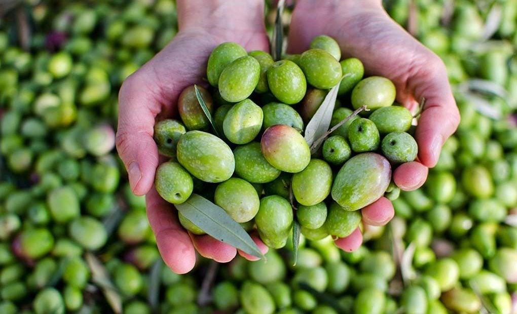 Aceitunas, la única materia prima para el virgen extra. Foto: shutterstock.